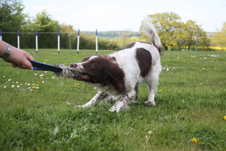liver and white working type english springer spaniel gundog tugging on a toy