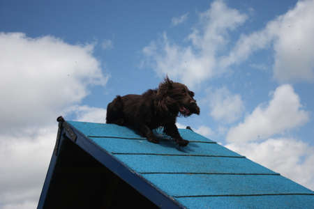 working type cocker spaniel on an agility a-frame