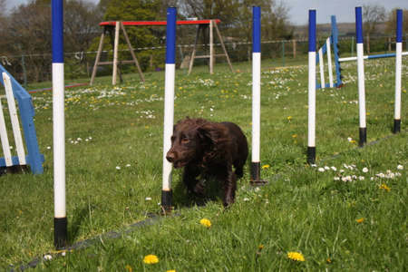 working type cocker spaniel running through agility weaves