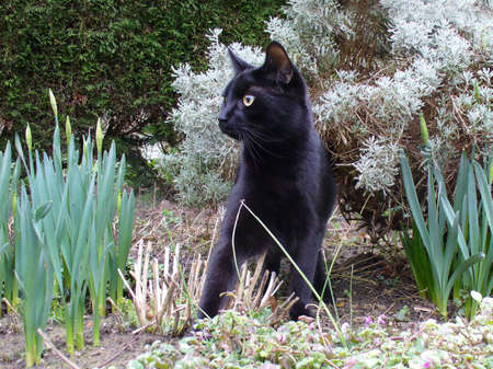 black cat in a garden watching and ready to pounce photo