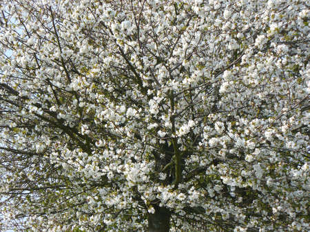 blosom: spring white blossom filled tree on a sunny day