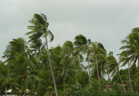 wind storm: strong wind blowing palm trees in a storm