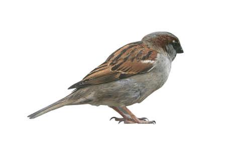 ornithology: cutout of a brown english sparrow bird Stock Photo