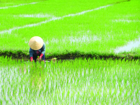 paddy field: Vietnamese lady planting rice on a rice paddy field in vietnam, aisa