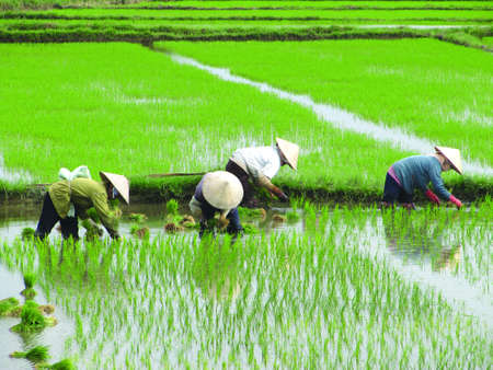 Vietnamese ladys planting rice on a rice paddy field in vietnam, aisa                                                              photo