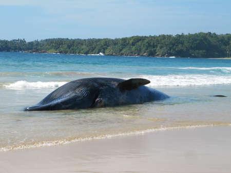 ballena azul: Ballena varada muerta