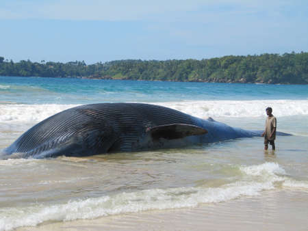 baleine bleue: Beached Whale morts �ditoriale