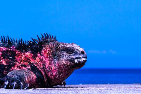 sunburned: A sunburned marine iguana sleeps at the pier. Stock Photo