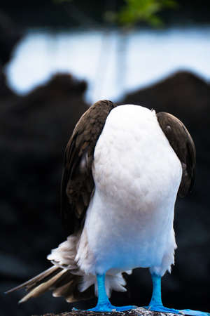 booby: A blue footed Booby hiding its head.