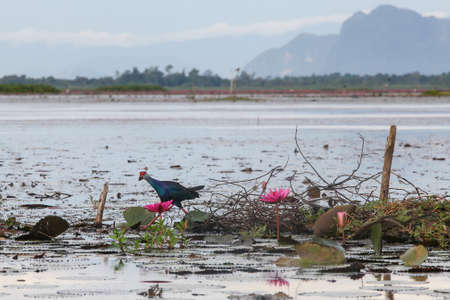 Moorhen on the floating bushes and water lotus