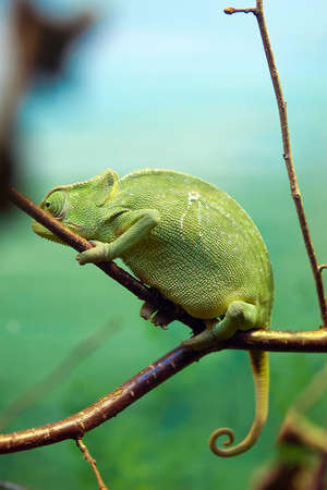 A green Chameleon holding tightly onto a branch over a natural background. photo
