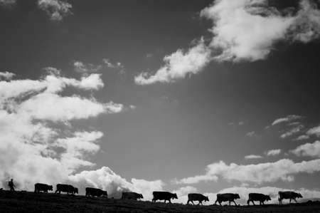 Mountain pasture - Several cows walking in line under a nice but cloudy sky. Stock Photo - 50157394