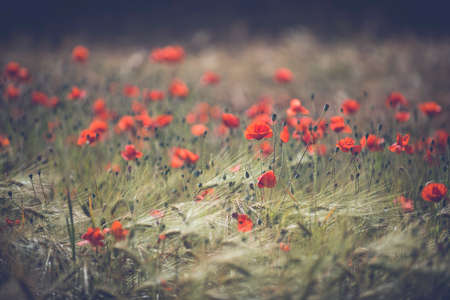 Red poppy field - Beautiful poppies growing and blooming in the warm sunlight.