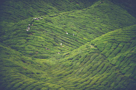 Tea cultivation - Tea harvesting in the green hills of the Malaysian Cameron highlands Stock Photo - 51566539