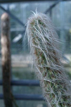 cactus Cephalocereus senilis in the usa