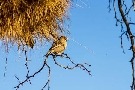 Pájaro tejedor sociable en el desierto de Namib Sossusvlei, Namibia, África