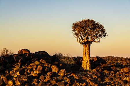 a quivertree at sunrise namibia