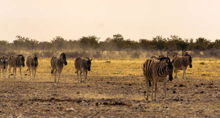 Zebra walking in dusty sunset, Kruger National Park, South Africa