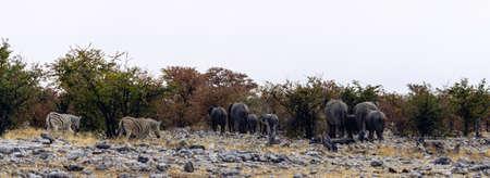 Elephant panorama on the Etosha plains with Zebra & Gemsbok Oryx against a blue cloudless sky