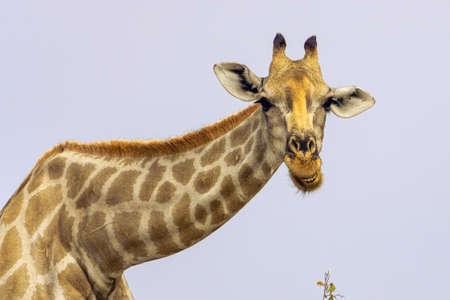 Eine süße Giraffe steht und schaut.