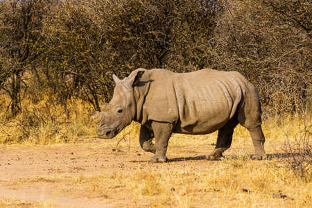white rhino in South Africa with horn sawed off to protect against poachers