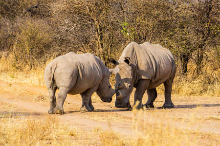 two rhino in forest namibia