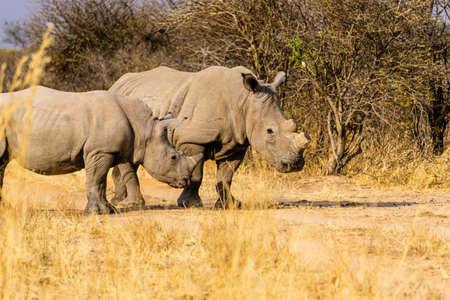 rhino in forest namibia two Stok Fotoğraf