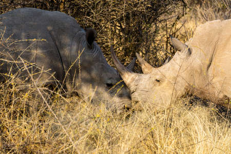 2 White Rhinos in Ongava Reserve