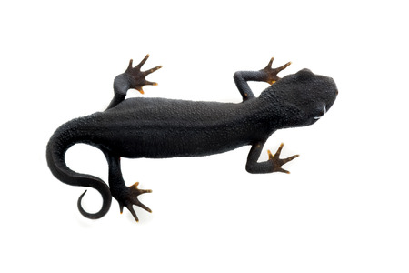 newt: Fire bellied newt isolated in white