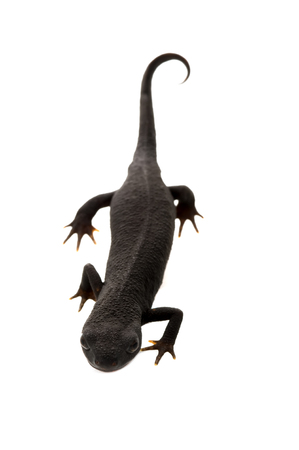 animals amphibious: This image shows a fire bellied newt