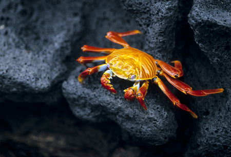 marinelife: This image shows a Sally Lightfoot Crab in the Galapagos Island
