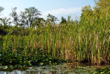 This image shows a lake scene of Bulrushes And Lily Pads