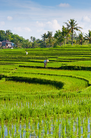 This image shows a worker in a rice terrace - Bali photo