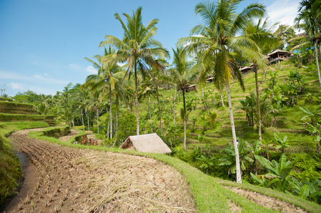 This image shows Ubud Rice Terraces, in Bali photo