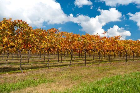 Canberra: This image shows colourful vines in the WIne Region near Canberra, Australia
