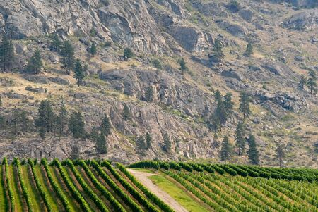 canada agriculture: This image shows a Osoyoos, Canada - Vineyard Stock Photo