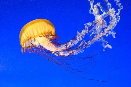 dangerous reef: This image shows a Sea  Nettle jellyfish (Chrysaora fuscescen)