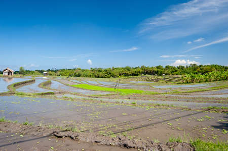 harvested: This image shows some harvested rice terraces in Bali, Indonesia Stock Photo