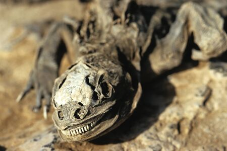 carcass: Dit beeld toont een Galapagos Lizard Karkas