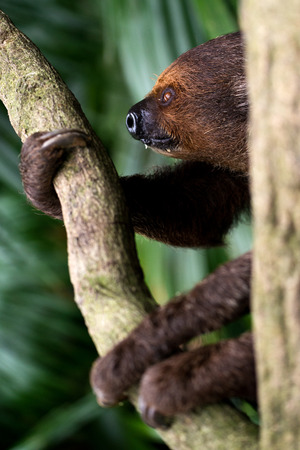 sloth: This image shows a sloth looking peaceful. Stock Photo