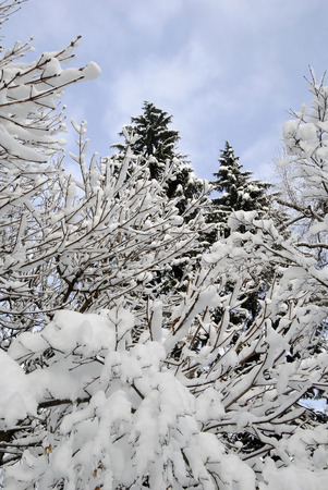 powdery: This image shows Snow Covered Trees in powdery snow