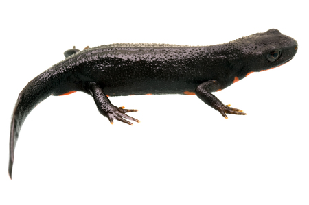 newt: This image shows a fire bellied newt
