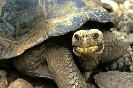 ancient turtles: This image shows an Ancient Galapagos Island Tortoise Stock Photo