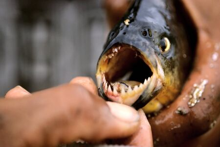 This image was shot in the Pantanal, Brazil and shows a piranha. Stock Photo