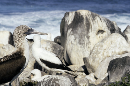 boobie: This image shows some Galapagos Blue Footed Booby Birds.