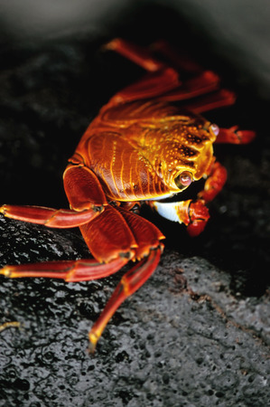 marinelife: This image shows a Sally Lightfoot Crab