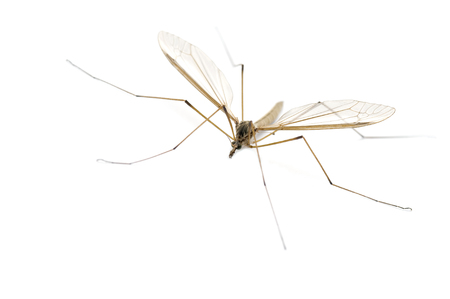 crane fly: This image shows a daddy longlegs (also known as a Harvestman, Crane Fly or Cellar spider)