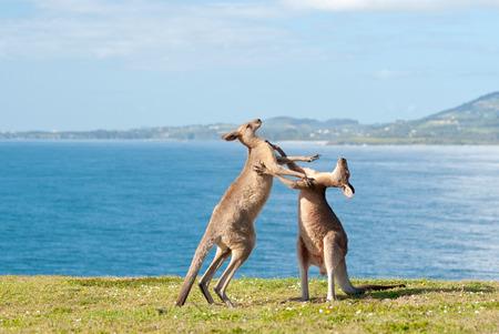 이 이미지는 캥거루가 에메랄드 비치, 호주에서 싸우는 보여줍니다 스톡 콘텐츠