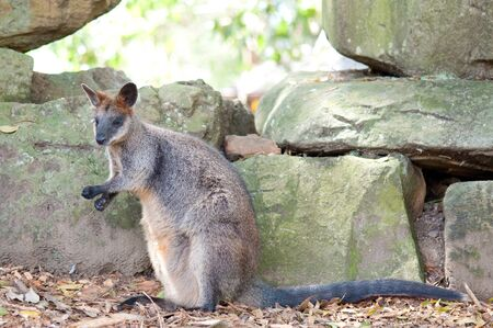 wallaby: This image shows a wallaby at the Sydney zoo, Australia Stock Photo