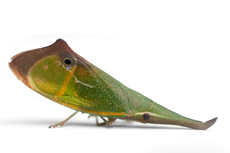 camouflaged: This image shows a camouflaged  leaf bug Stock Photo